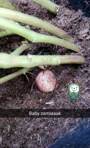 zemiaky 2