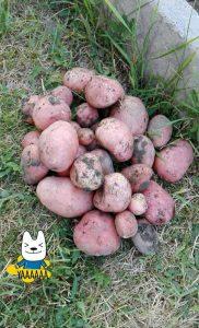 zemiaky 3